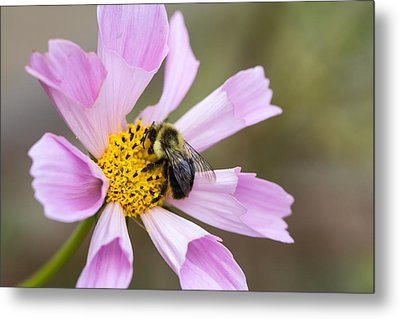 Cosmos And Bee Metal Print