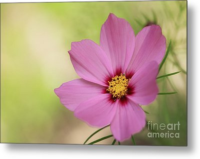 Cosmos... Metal Print by LHJB Photography