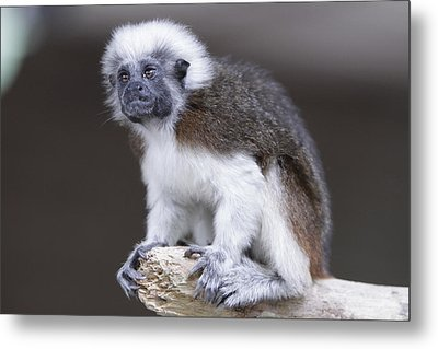 Metal Print featuring the photograph Cotton Top Tamarin by Shoal Hollingsworth