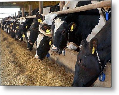 Cows Feeding Metal Print by Jim West