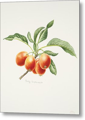 Crab Apples Metal Print by Sally Crosthwaite