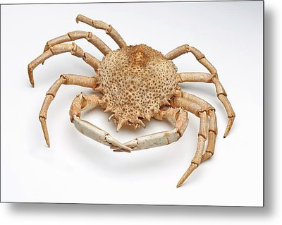 Crab Exoskeleton Specimen Metal Print by Ucl, Grant Museum Of Zoology