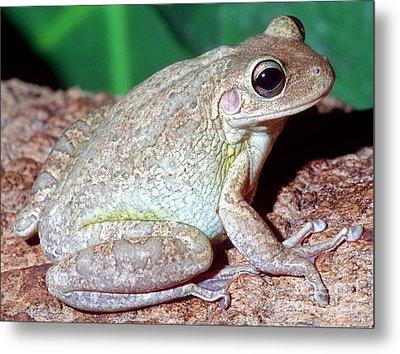 Cuban Tree Frog Osteopilus Metal Print by Millard H. Sharp