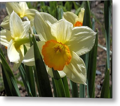Metal Print featuring the photograph Daffodil by Gene Cyr
