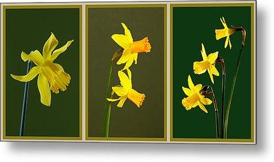 Daffodil Triptych Metal Print by Pete Hemington
