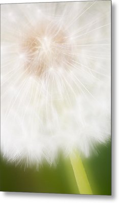 Dandelion Seedhead Noord-holland Metal Print by Mart Smit