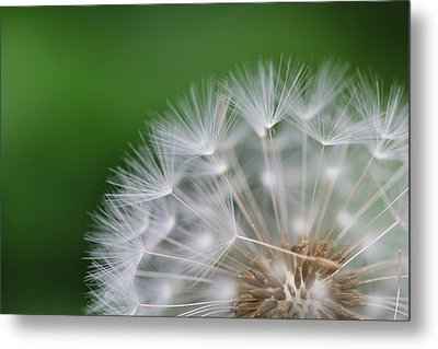Dandelion Metal Print by Tilen Hrovatic