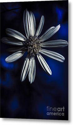Dark Blue Daisy Blossoming In A Romantic Twilight  Metal Print by Jorgo Photography - Wall Art Gallery