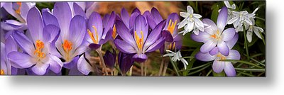 Details Of Early Spring And Crocus Metal Print