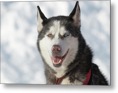 Dog Sled Races Are A Popular Winter Metal Print