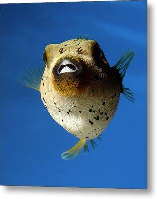 Dogface Pufferfish Metal Print by Nigel Downer