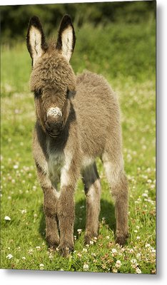 Donkey Foal Metal Print