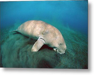 Dugong  Feeding On Sea Grass Metal Print by Mike Parry