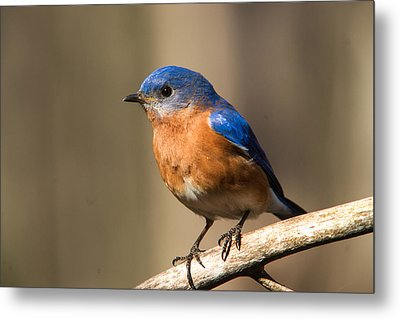 Eastern Bluebird Male 7 Metal Print by Douglas Barnett