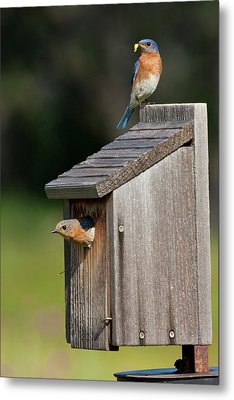 Eastern Bluebird (sialia Sialis Metal Print by Larry Ditto