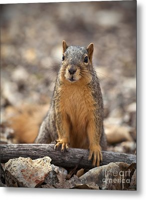 Eastern Fox Squirrel Metal Print