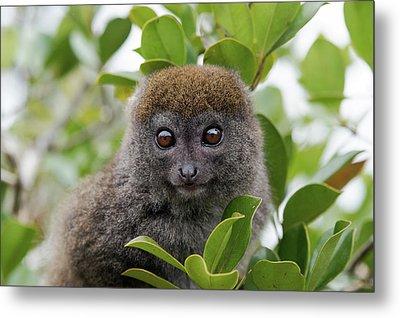 Eastern Grey Bamboo Lemur Metal Print