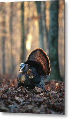 Eastern Wild Turkey (meleagris Metal Print