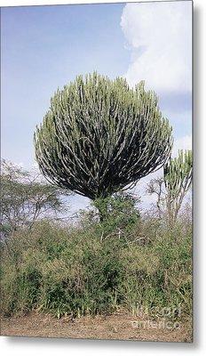Euphorbia Candelabrum Metal Print by Adrian T Sumner
