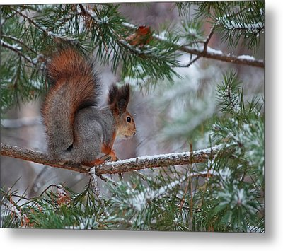 Eurasian Red Squirrel Metal Print by Jouko Lehto