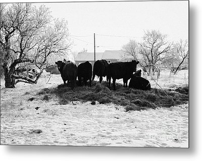 feed and fresh grass laid out for cows on winter farmland Forget Saskatchewan Canada Metal Print by Joe Fox