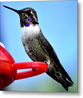 Metal Print featuring the photograph Male Anna On Perch by Jay Milo