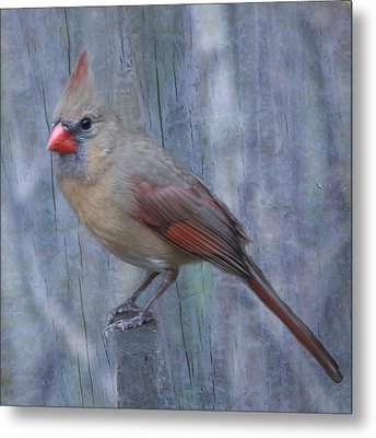 Female Cardinal Metal Print by John Kunze