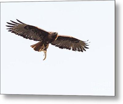 Female Red-tailed Hawk In Flight Metal Print by Carl Jackson