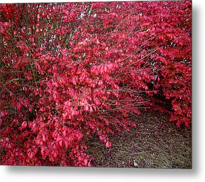 Metal Print featuring the photograph Fire Bush by Pete Trenholm