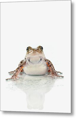 Fire-leg Walking Frog On White Metal Print by Corey Hochachka