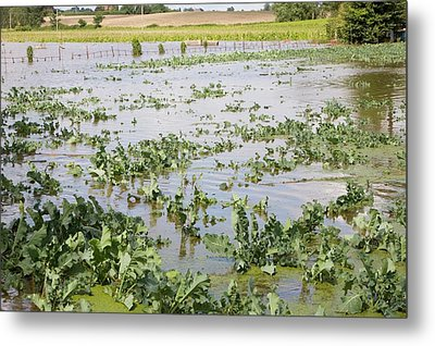 Flooded Crops Metal Print by Ashley Cooper