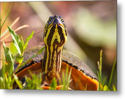 Florida Redbelly Turtle Metal Print by Celso Diniz