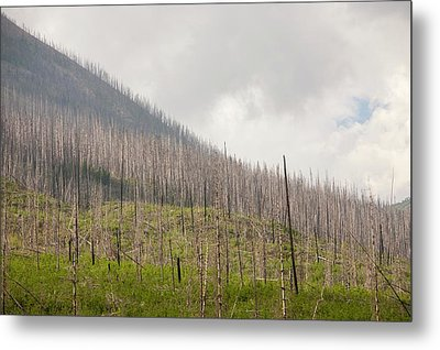 Forest Burnt By Mount Shanks Wild Fire Metal Print by Ashley Cooper