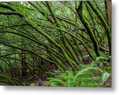 Forest Scene In Muir Woods State Park Metal Print