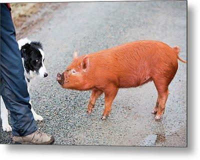Free Range Pig Metal Print by Ashley Cooper
