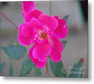 Fushia Knockout Rose 2 Metal Print by Rod Ismay