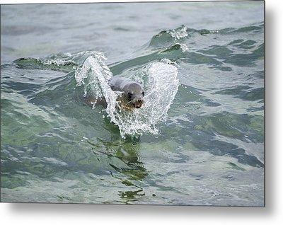 Galapagos Sea Lion Surfing Mosquera Metal Print by Tui De Roy