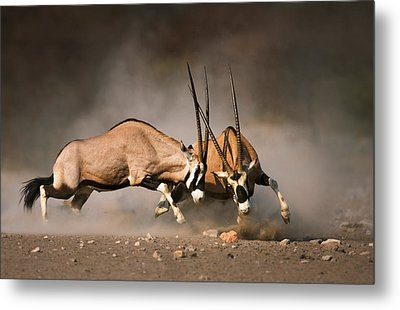 Gemsbok Fight Metal Print by Johan Swanepoel