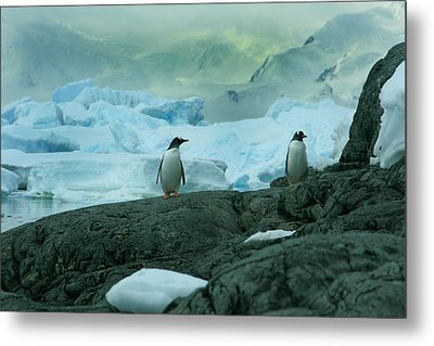 Gentoo Penguins Metal Print