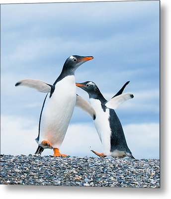 Gentoo Penguins Metal Print by Konstantin Kalishko