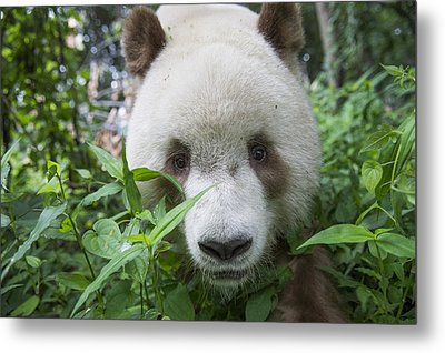 Giant Panda Brown Morph China Metal Print by Katherine Feng