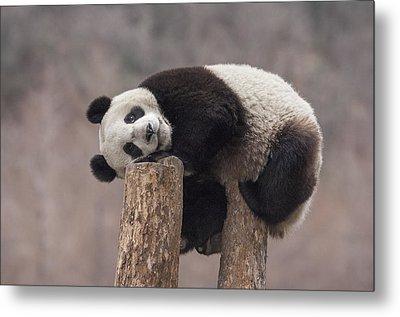 Giant Panda Cub Wolong National Nature Metal Print