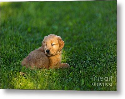 Golden Retriever Puppy Metal Print by Linda Freshwaters Arndt
