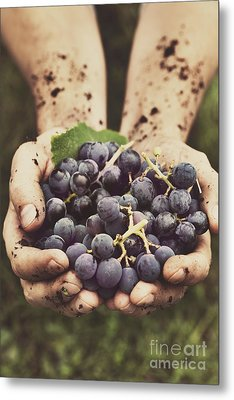 Grapes Harvest Metal Print by Mythja  Photography
