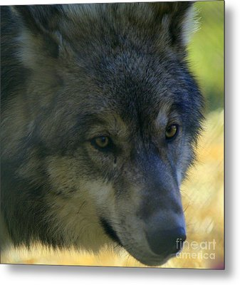Gray Wolf Metal Print by Neal Eslinger
