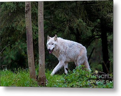 Gray Wolf White Morph Metal Print by Mark Newman