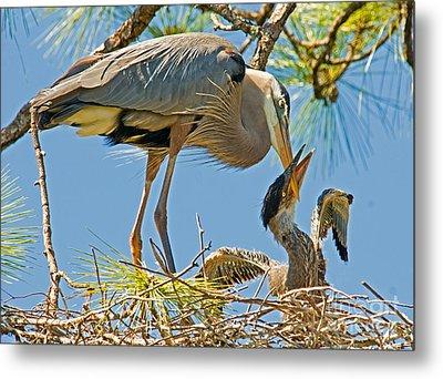 Great Blue Heron Adult Feeding Nestling Metal Print by Millard H. Sharp