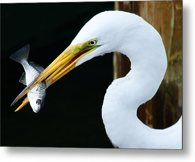 Great Catch Metal Print by Paulette Thomas