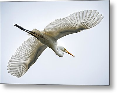 Great Egret Metal Print by Brad Grove