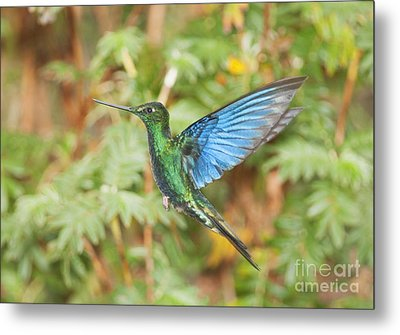 Metal Print featuring the photograph Great Sapphirewing Hummingbird by Dan Suzio
